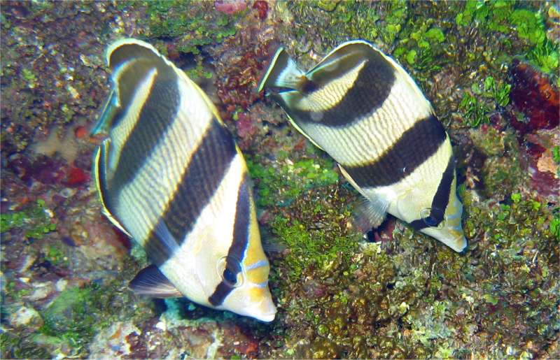 Butterfly_Fish