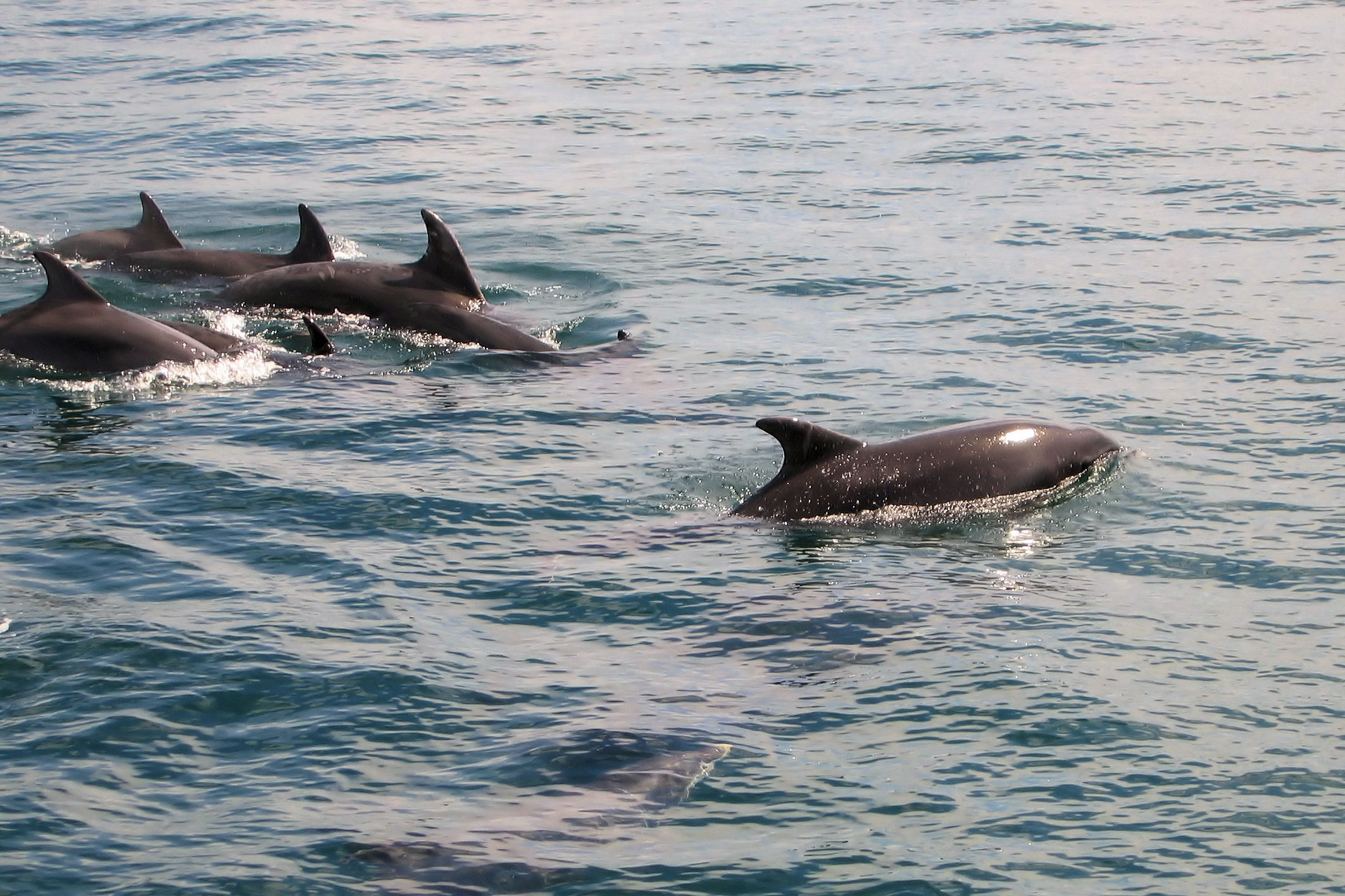 Common_Dolphins_off_Mull